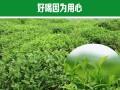 贵州茶产业三年内实现四个第一,助推56万农户脱贫
