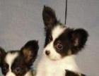 永盛犬业十多年的繁殖经验 纯种蝴蝶犬 同城免费送狗