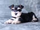 哪里有卖雪纳瑞雪纳瑞多少钱雪纳瑞图片雪纳瑞幼犬