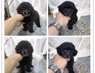 **韩系萌宠泰迪犬幼犬 酒红色咖啡色黑色灰色香槟