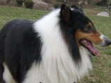 纯种养殖德国牧羊犬长期对外出售可批发