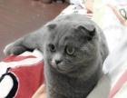 家养的英短蓝猫出售