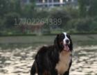 唐山市出售伯恩山犬幼犬家养纯种公母小狗高品质保健康