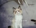 出售双色布偶猫幼猫布偶猫家养布偶猫幼猫纯种宠物猫