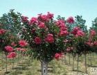 求购地径3公分紫薇1万5千棵、米径7公分黄山栾树3