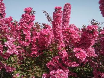 大量批发西府海棠 北美海棠 3-20公分海棠树基地