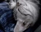 美短猫猫三个月找靠谱主人-低价