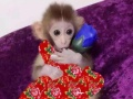 纯种袖珍石猴!宠物猴 长不大的