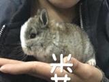 實體店每周更新寵物兔 全部手掌大小 迷你寵物兔寶寶