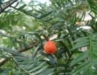 长寿树-红豆杉