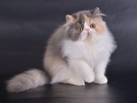 大连哪里有波斯猫卖 纯种 无病无廯 协议质保