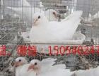 定西肉鸽价格、肉鸽市场、肉鸽种鸽白羽王,银王,石歧鸽等出售