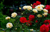 山东规模大的大花蔷薇生产基地-大花蔷薇批发价格