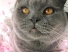 自家猫舍专业繁殖纯种精品英短蓝猫