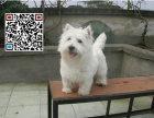 哪里出售西高地犬 纯种西高地犬多少钱