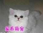 长期出售高品质纯种 金吉拉猫 纯种金吉拉可上门挑选