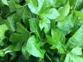 大量无菌高产百香果苗供应,可自提可快递方便快捷。