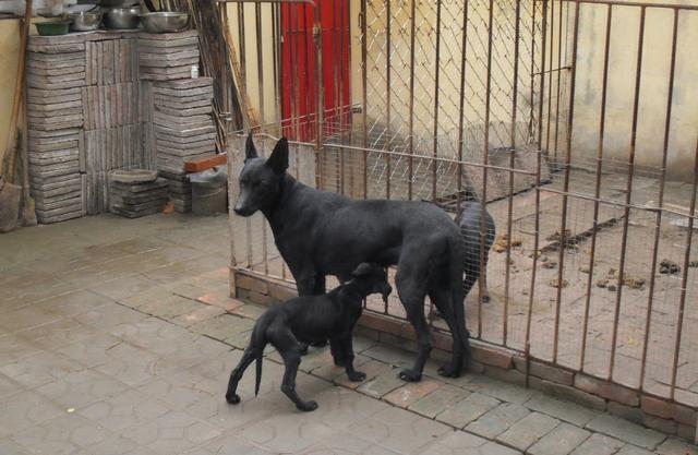 黑狼犬价格 哪里有卖黑狼犬的 纯种黑狼
