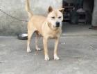 纯种土猎犬专卖全国运送 品质保证
