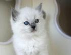 傲娇萌猫出售布偶 英短 渐层 折耳 等各名猫