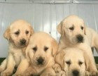 贵阳出售拉拉 金毛犬 比熊 泰迪 柴犬 博美犬柯基犬品种齐全