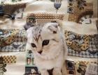 个人自养一只可爱三个月折耳猫