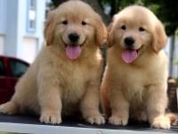 苏州金毛犬一本地养殖狗场一直销各种世界名犬 常年售卖