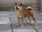 黑龙江 柴犬多少钱 哪里可以买到