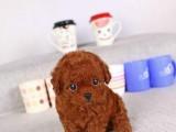 珠海哪有泰迪犬卖 珠海泰迪犬价格 珠海泰迪犬多少钱