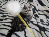 自家貓舍繁育虎斑貓 包純種 包健康