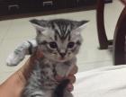 纯种美国短毛猫银虎斑猫幼猫1500元健康家养猫