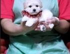 纯种泰迪幼犬 先检测健康再购买