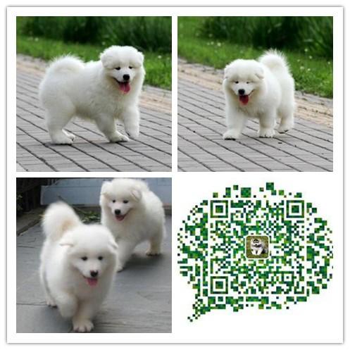 昆明出售精品萨摩幼犬一血统纯正一保纯种健康