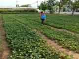 宁玉草莓苗批发 种苗品种全
