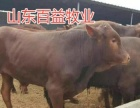 出售鲁西黄牛 西门塔尔牛 黄牛 改良肉牛免费送货
