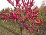 清地处理2公分红叶碧桃好的货源 碧桃树量大优惠