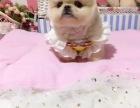 博美幼犬超级卡哇伊公母均有 品相好超级甜可上门挑选