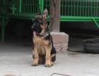 家养一窝纯种德国牧羊犬黑背可以签协议 来家里看狗父母