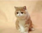 猫舍出售 加菲猫 多只可以挑选 可送货上门1