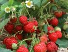 哈尔滨草莓采摘园-黑龙江省维佳浆果草莓采摘园