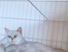 ---lulu猫舍---银渐层萌宝宝