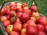 荷兰早红油桃种植_购买荷兰早红油桃就选友科果树苗木