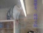 20天美短猫开始预定,朝阳市内及周边可以上门看猫!