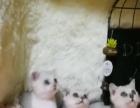 渐层猫咪特价出售可议价