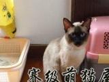 家自养繁殖纯种蓝眼晴暹罗猫