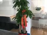 专业室绿植租赁 写字楼商务楼植物租摆 绿化移植租摆
