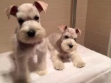 纯种雪纳瑞幼犬,椒盐灰色雪纳瑞宠物狗出售
