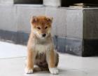 石家庄柴犬怎么卖的 石家庄日系柴犬多少钱 石家庄柴犬的价格