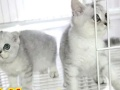 各种可爱 精品 金吉拉布偶蓝猫加菲等 快来看看吧