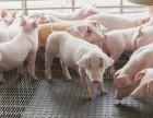 怎样养猪赚钱 怎样养猪才能赚钱